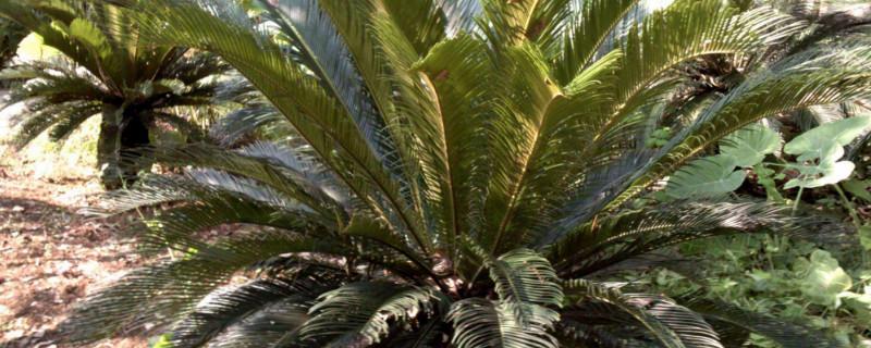 巴西铁树叶子发黑如何补救