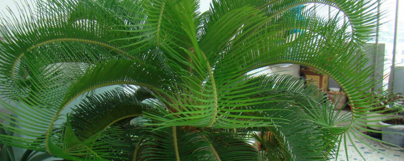 巴西铁树叶子黄尖