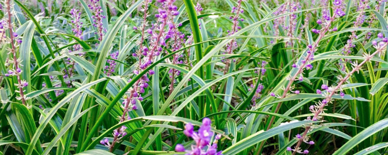 沿阶草的生长环境