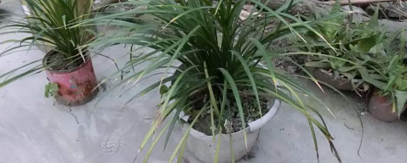 沿阶草可以盆栽吗