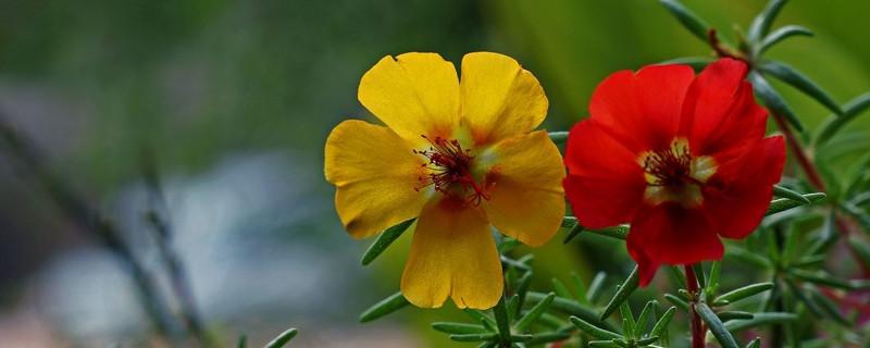 太阳花的生长发育记录
