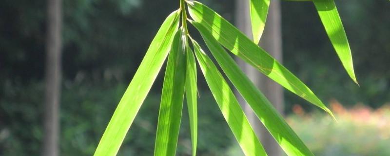 小叶竹子叫什么竹