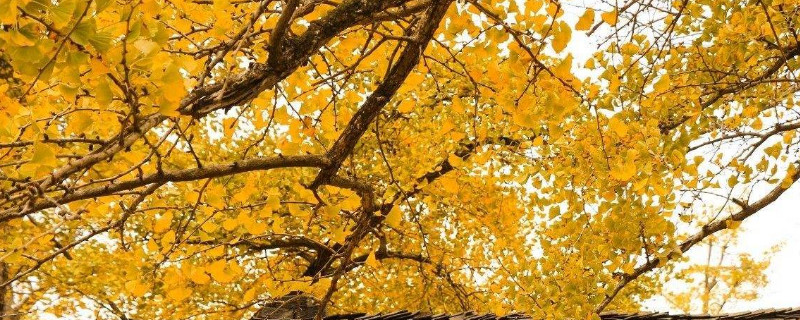 广西海洋乡银杏叶什么时候黄