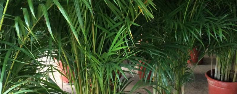 凤尾竹为什么长不高