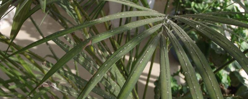 凤尾竹为什么出现干叶