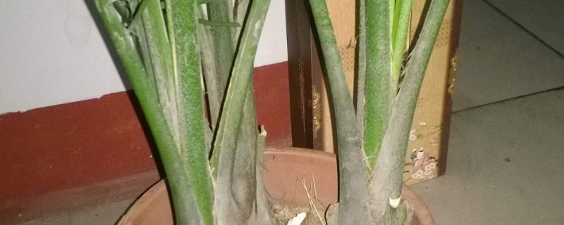 凤尾竹为什么变黄了