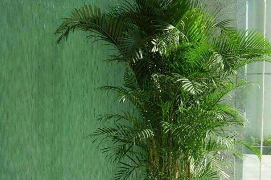 珠海绿化公司 凤尾竹