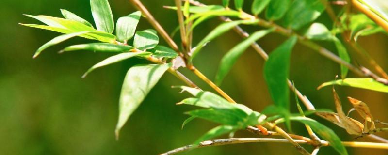 凤尾竹为什么会烂根