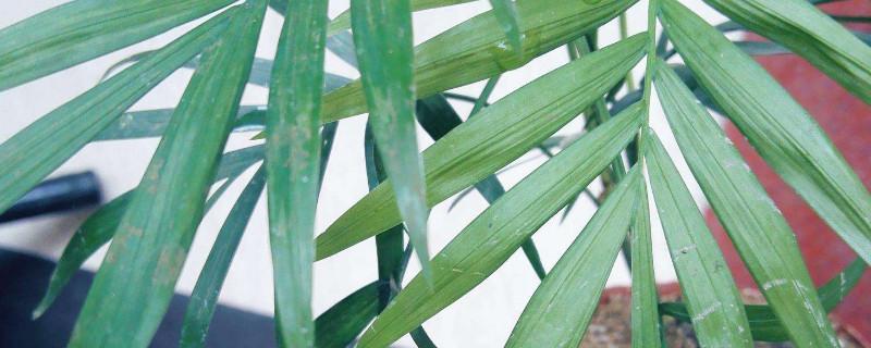 凤尾竹为什么发黄