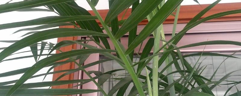 凤尾竹叶子发黄干枯