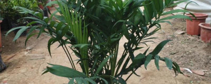 凤尾竹叶子上有白点