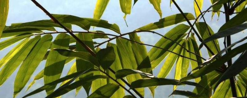 凤尾竹叶子干枯的解决方法