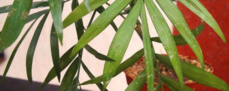 凤尾竹叶子上有粘粘的怎么回事