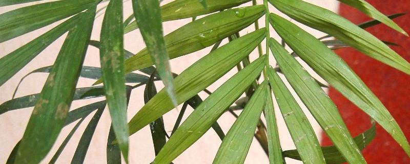 散尾葵多久长一米