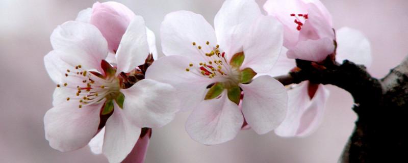 桃花最佳观赏时间