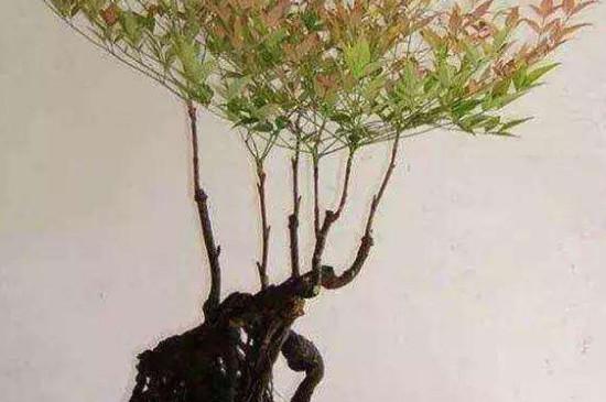南天竹盆景的养殖方法