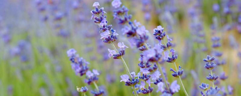 熏衣草的花语是什么