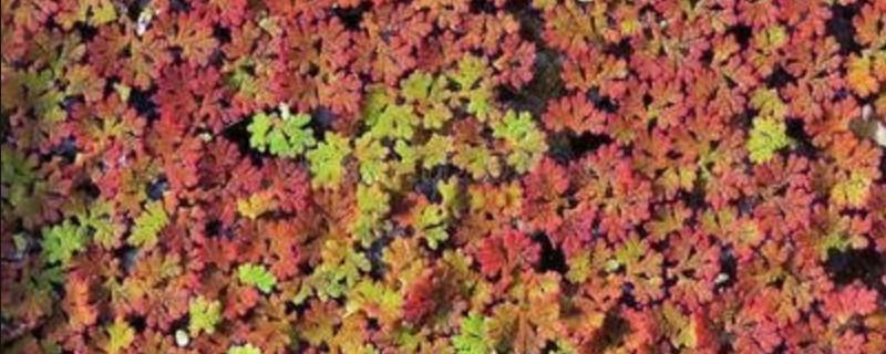 满江红植物能当药材吗