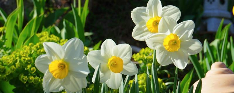 水仙花是怎么传播种子的