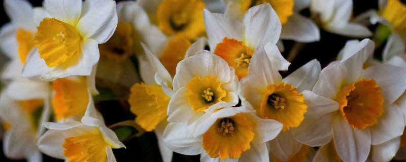 水仙花是大蒜的花吗