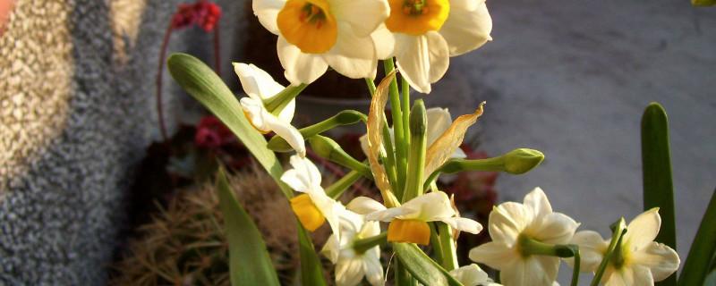 水培水仙花什么时候种植