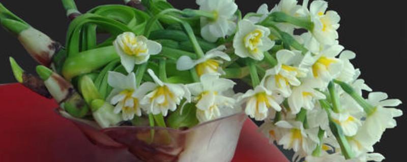 水培水仙花开完花后怎么处理