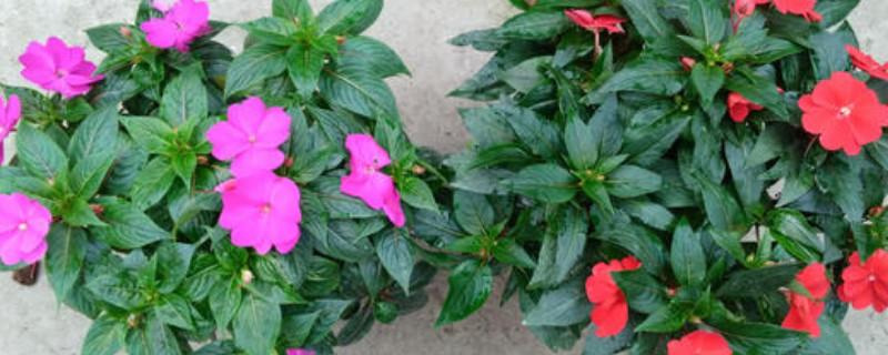 新几内亚凤仙花可以水培吗