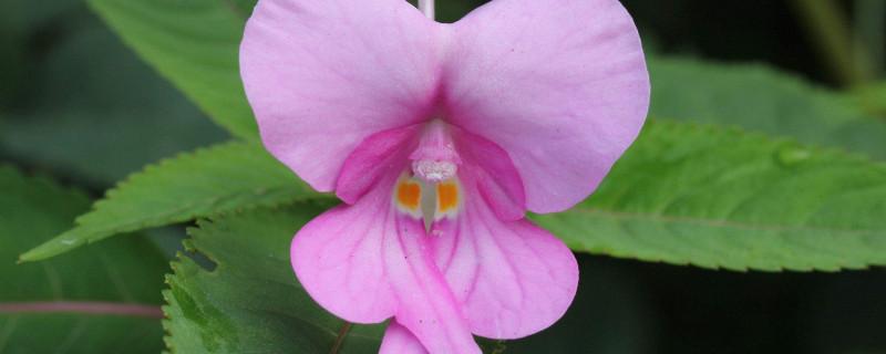 凤仙花种子可以水培吗