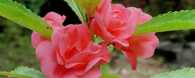 五彩凤仙花可以水培吗