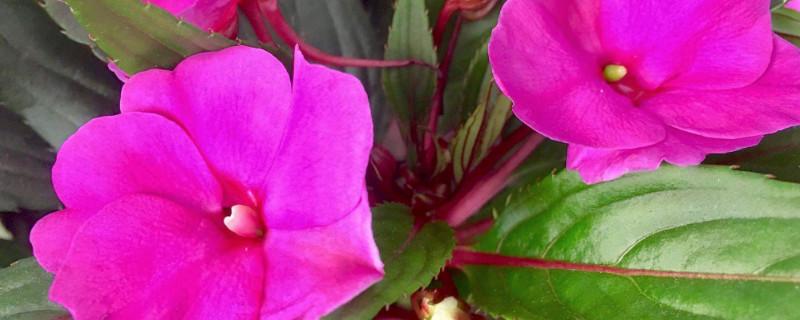 苏丹凤仙花的水培繁殖方法