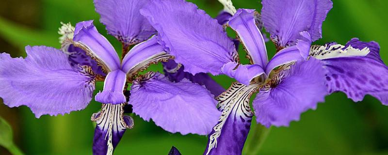 鳶尾花怎么養在水里