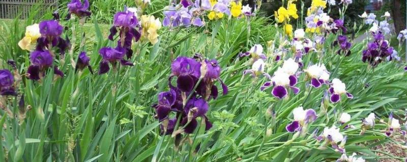鳶尾花怎么在盆里種植