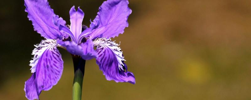 鳶尾花是什么香味的
