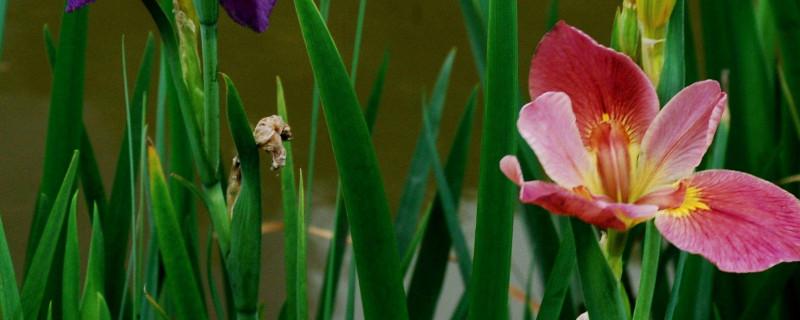 鳶尾花是那個國家