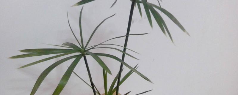 水竹怎么修剪