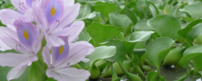 水葫芦和金鱼藻的相同点