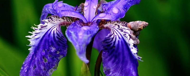 鳶尾花是哪個國家的國花
