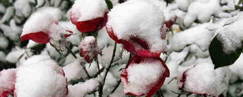 爬藤月季北方怎么过冬