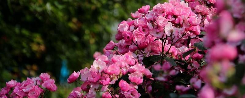 爬藤月季和蔷薇的区别