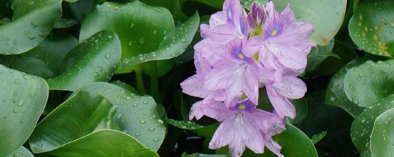 水葫芦可以净化水质吗