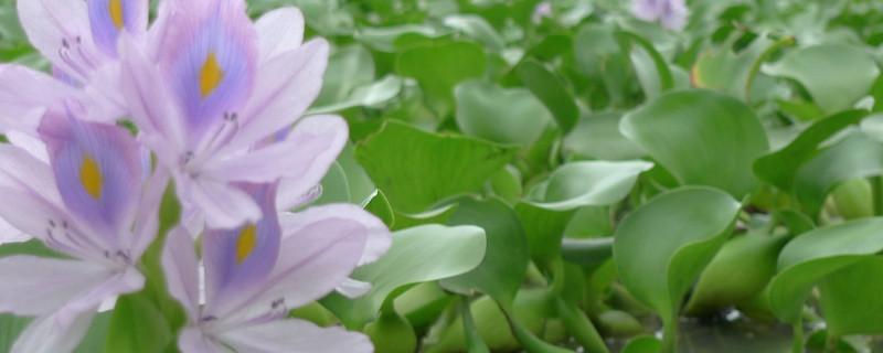 水葫芦可以做肥料吗