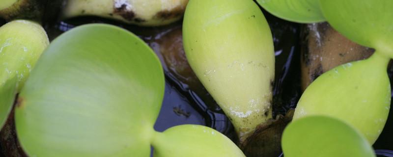 水葫芦怎么种植