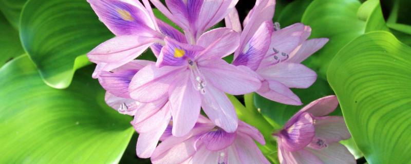 水葫芦怎么养能开花