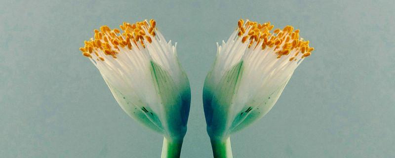 虎耳兰开什么颜色的花