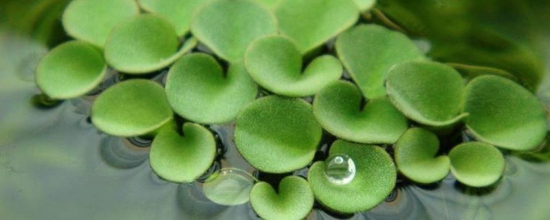 浮萍可以改善水质吗