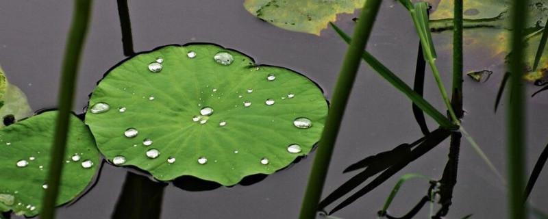 浮萍可以养花吗