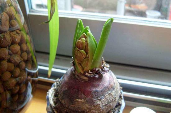 风信子可以种在土里吗