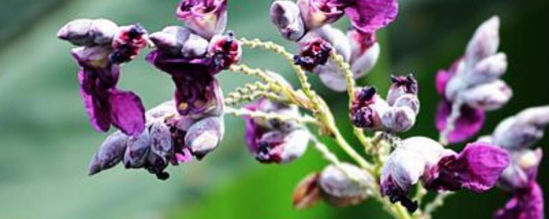 再力花是水生植物吗