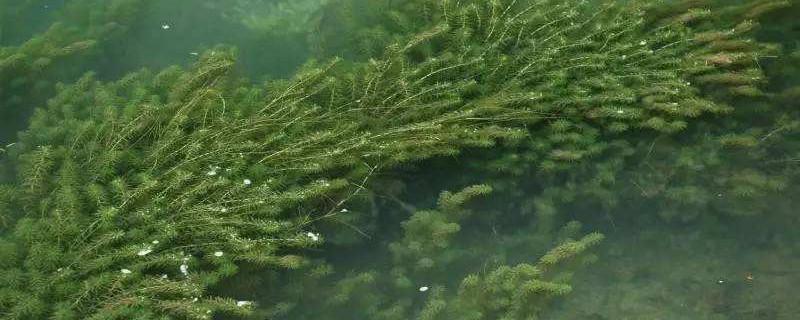 黑藻生長在南方還是北方