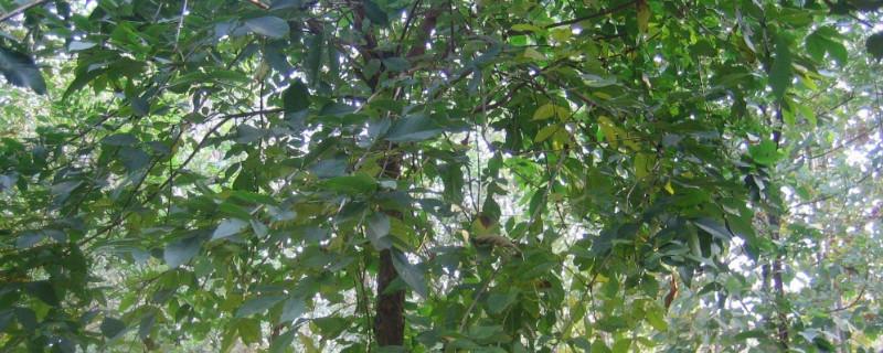 白蜡树叶干枯什么原因